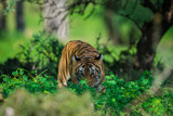 A tigress sighted in monsoon when forest is like green carpet at Ranthambore Tiger Reserve