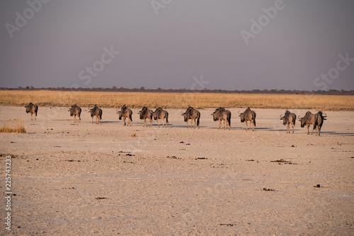 Wildebeest in the Makgadikgadi Pans National Park, Botswana