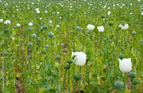 poppy field - 225744216