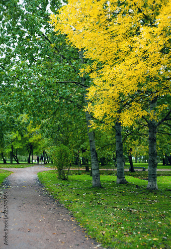 Birch Trees alley  in the park with yellow and red autumn leaves - 225745686
