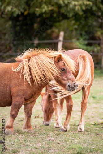 horses living in belium