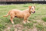 dachshund dog living in belgium