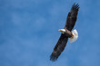 Bald eagle against blue sky