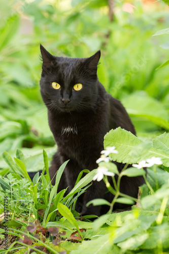 Beautiful Cute Black Cat With Yellow Eyes Portrait Outdoors In Green