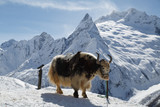 Big shaggy yak stands, tethered against the background of the beautiful white mountains of the Caucasus - 225780243