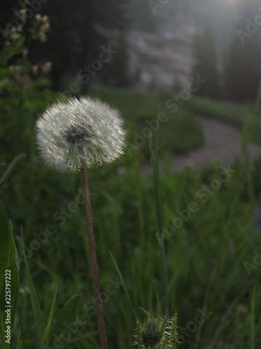 dandelion in grass - 225797222