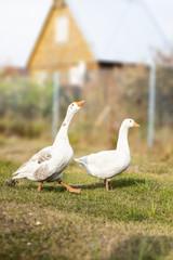 Two white geeese walking on farm