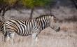 Zebra in the Hwange National Park, Zimbabwe