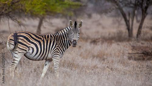 Zebra in the Hwange National Park, Zimbabwe - 225821812