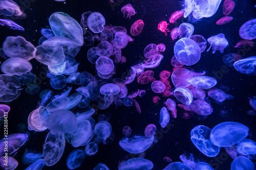 Fototapeta Jellyfish 加茂水族館 Kamo Aquarium, Tsuruoka City,Japan