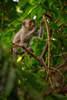 Long-tailed Macaque - Macaca fascicularis, common monkey from Southeast Asia forests, woodlands and gardens, Thailand.