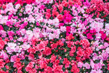 Azalea flower in the garden. Garden of pink and red flowers. Flowers garden in springtime.