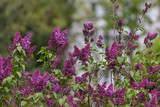 Lila Flieder während der Blüte - 225875445