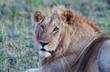Lion in the Maasai Mara National Park, Kenya