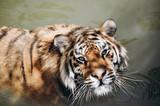 a big wild cat