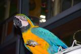 Parrot eating grape
