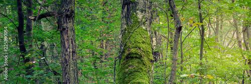 Mit Moos bewachsener Baumstamm im Laubwald - 225890054
