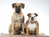 Two funny dogs as a team. Bulldog and Dogo Canario puppy.  - 225891846