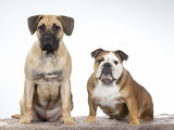 Two funny dogs as a team. Bulldog and Dogo Canario puppy.  - 225891865