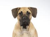 Dogo Canario puppy dog portrait. Image taken in a studio with white background. - 225893487