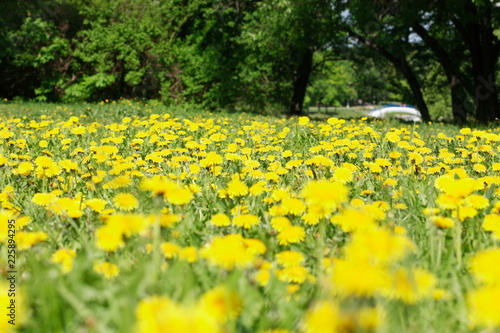 dandelion at spring - 225894295