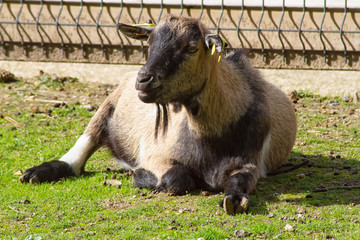 goat in zoo © ALF photo