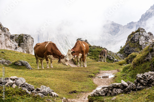 Leinwandbild Motiv Italien - Südtirol - Kühe auf dem Col Raiser Rundwanderweg