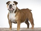 Bulldog portrait. Image taken in a studio with white background. - 225913402