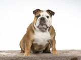 Bulldog portrait. Image taken in a studio with white background. - 225913414