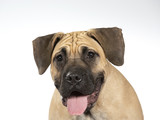 Dogo Canario puppy dog portait. Image taken in a studio with white background.  - 225915625