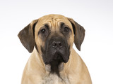 Dogo Canario puppy dog portait. Image taken in a studio with white background.  - 225915642