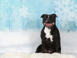 Christmas dog concept image. American staffordshire terrier portrait in a studio with a snowy background. - 225918400
