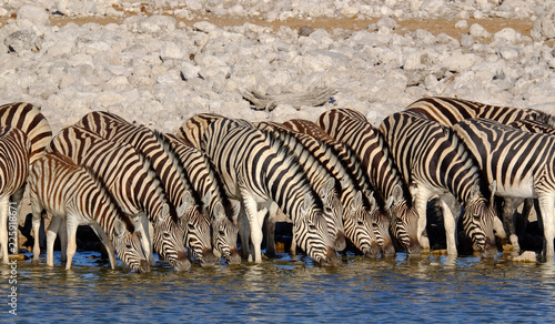 Zebras drinking at waterhole in Namibia - 225918671