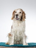 Welsh Springer Spaniel dog portrait, image taken in a studio with white background - 225921028