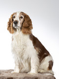 Welsh Springer Spaniel dog portrait, image taken in a studio with white background - 225921045