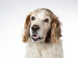 Welsh Springer Spaniel dog portrait, image taken in a studio with white background - 225921059