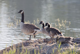 Cute Canada Goose bird family in early morning light standing on a rock by the sea (latin: Branta canadensis) - 225921070