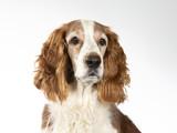 Welsh Springer Spaniel dog portrait, image taken in a studio with white background - 225921074