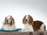 Welsh Springer Spaniel dog portrait, image taken in a studio with white background - 225921098