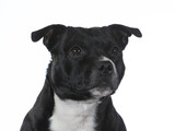 Amstaff portrait with a white background, isolated on white. - 225925607
