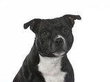 Amstaff portrait with a white background, isolated on white. - 225925626