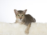 Greeneyed cat isolated on white. Image taken in a studio. - 225926608