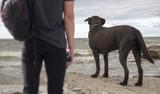 Labrador looks at the sea - 225940672