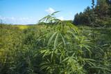 fields of industrial hemp in Estonia - 225941243
