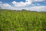 fields of industrial hemp in Estonia - 225941659