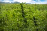 fields of industrial hemp in Estonia - 225941887