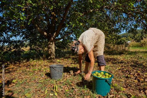 Leinwanddruck Bild Family at harvest in walnut orchard