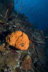 Marine sponge on coral reef at Bonaire Island in the Caribbean