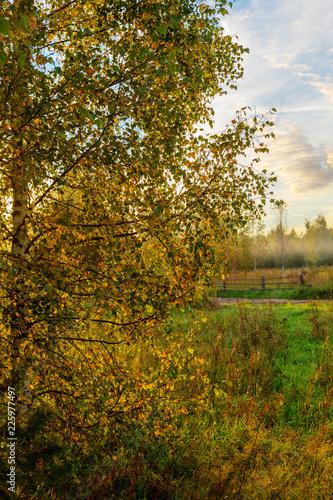 birch foliage at sunrise - 225977497