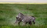 Zebras in the Serengeti National Park, Tanzania - 225982642